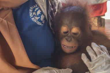 Baby orangutan clinging to woman