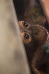 Baby orangutan inside wooden crate