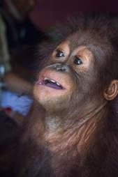 Baby orangutan looking upwards