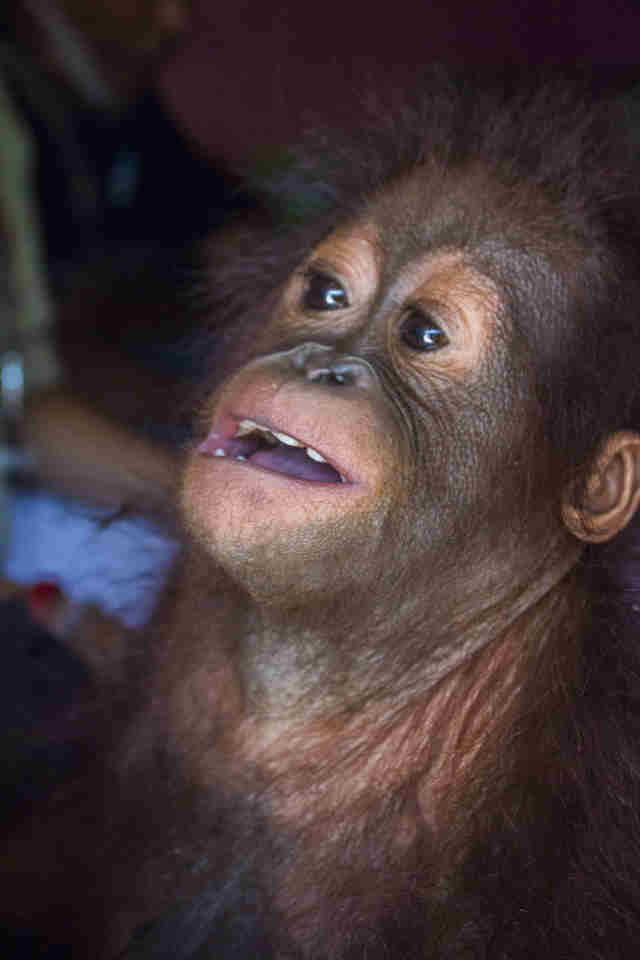 Baby orangutan looking upwards