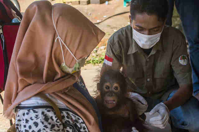 Vet team treating baby orangutan
