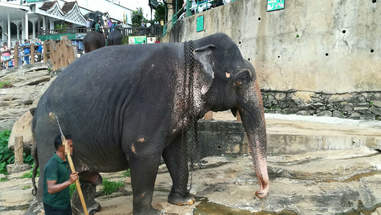Chained elephant being led by mahout with bullhook