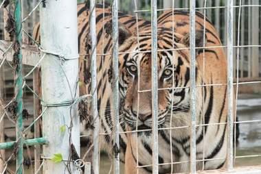 tiger farm laos