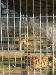 tiger farms illegal asia trafficking