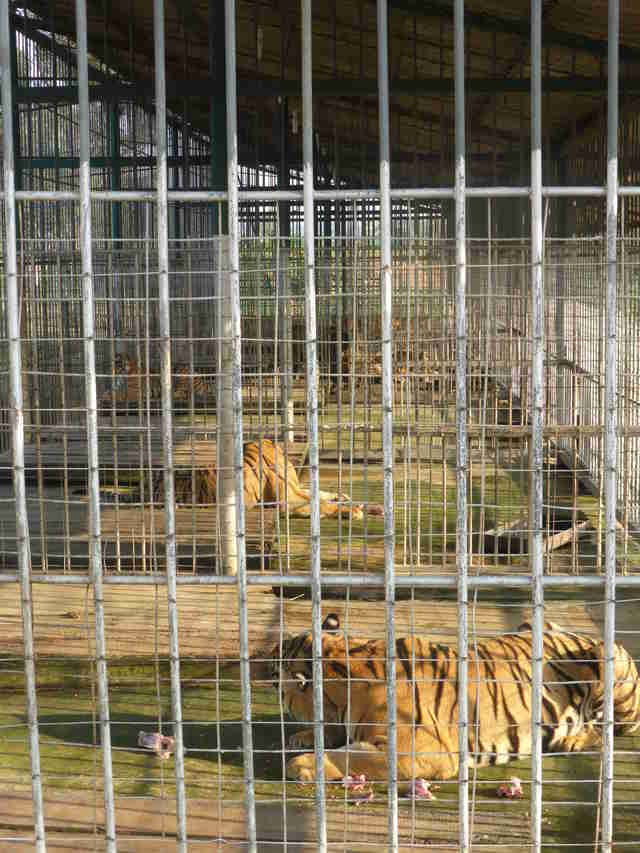tiger farms illegal asia trafficking