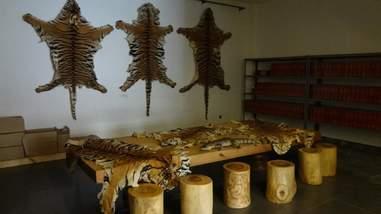 tiger skins illegal sale