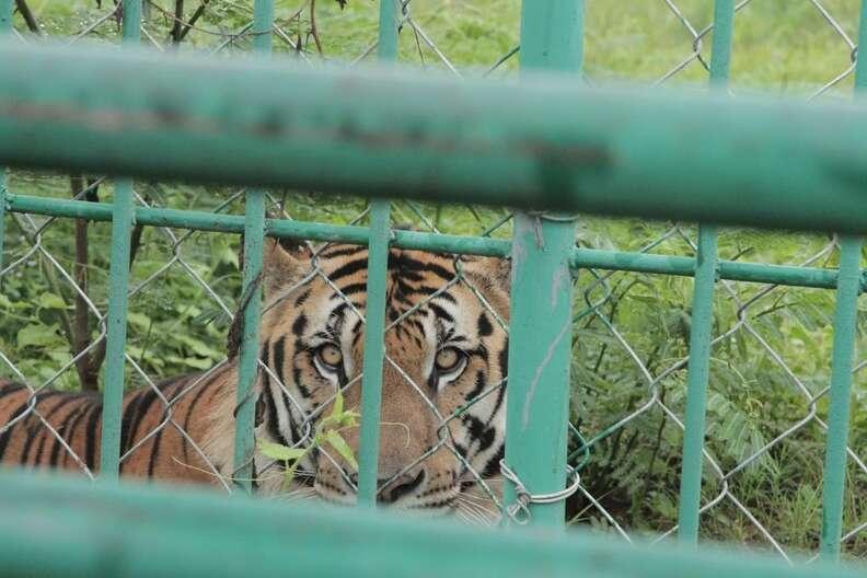 tiger farms cruelty asia
