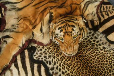 tiger skins illegal