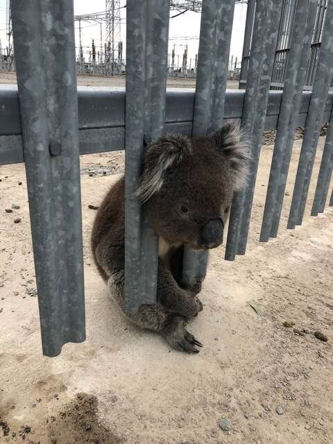 A koala gets trapped between the bars of a fence