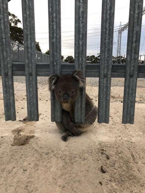 A koala stuck in a power station fence