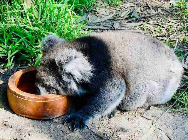 A koala goes to the ground for a drink