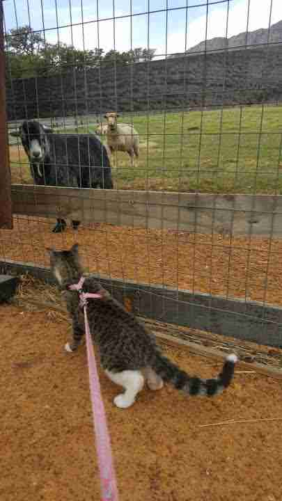 Cat looking at sheep through fence