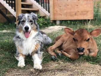 Australian shepherd with baby cow BFF at sanctuary