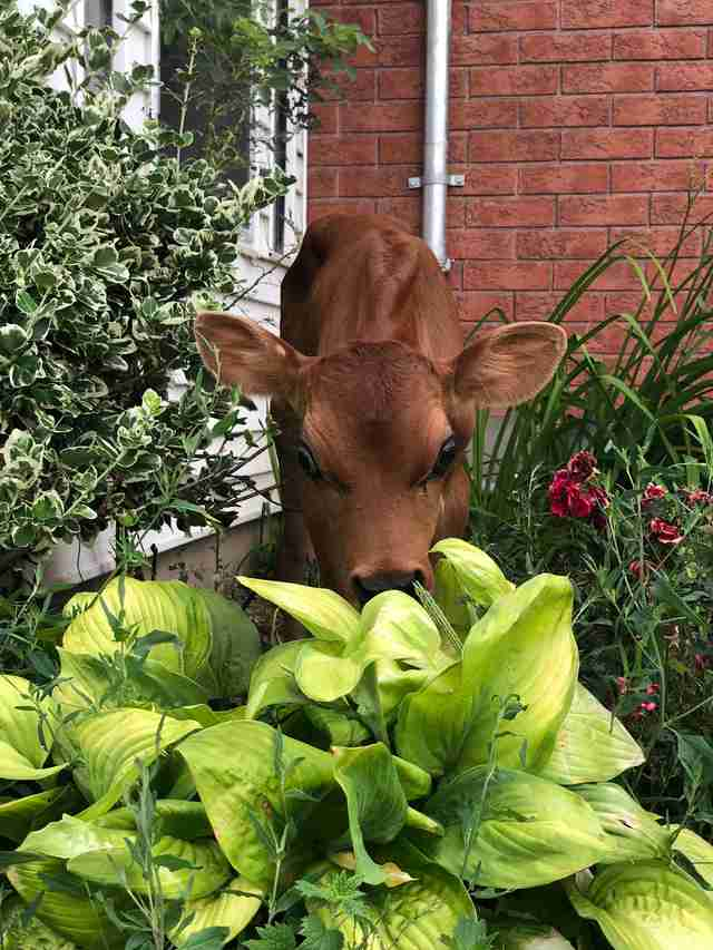 Calf rescued from dairy farm