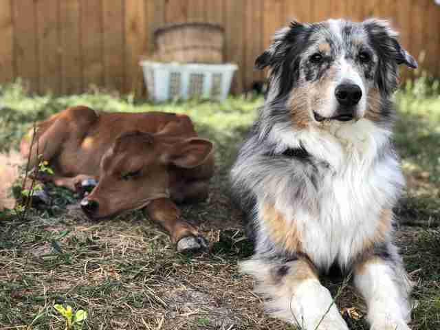 Australian shepherd guarding rescued baby cow