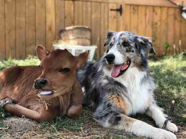 Australian shepherd guarding rescued dairy calf
