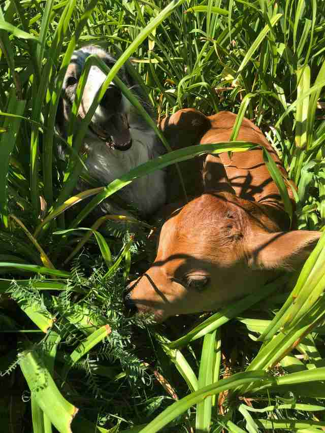 Dog and rescued calf playing in grass at sanctuary