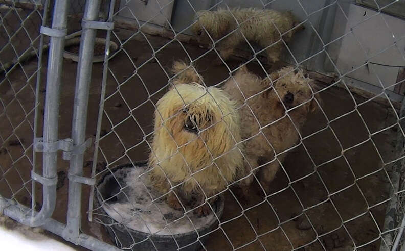 Dogs in kennel at puppy mill