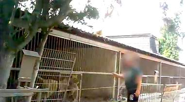 Caged tigers in the Czech Republic