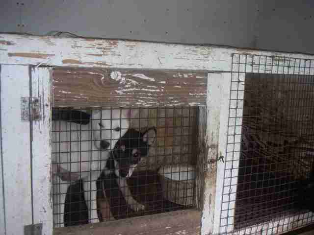 Dogs in cage at puppy mill
