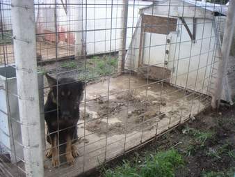 German shepherd at puppy mill