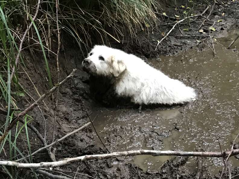 Puppy, a senior Great Pyrenees, stuck in mud