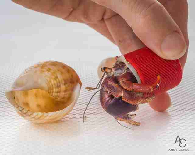Person gives hermit crab in plastic bottle cap new shell