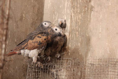 Timmeh Grey parrots being traded