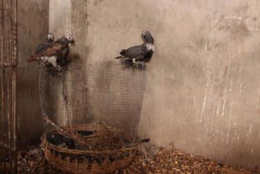 Captured African grey parrots