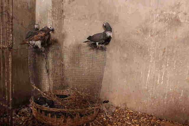 Captured African grey parrots