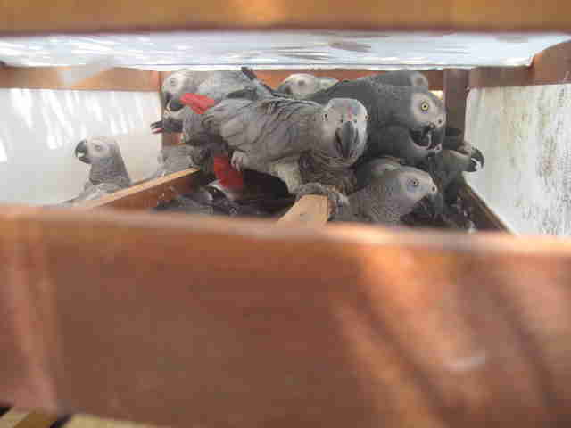 Trafficked African grey parrots ready to be shipped