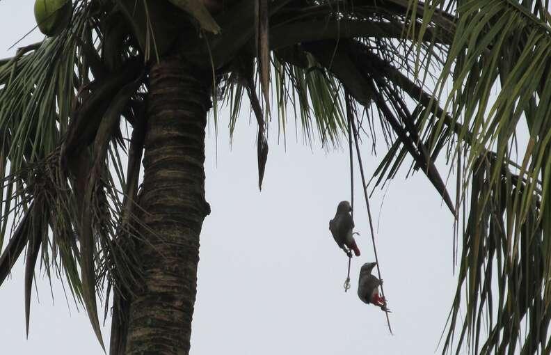 Bird tied to tree