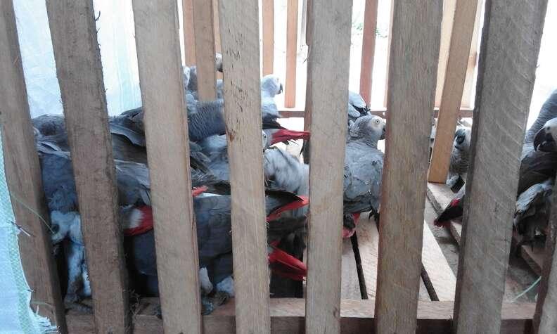Captured African grey parrots inside cage