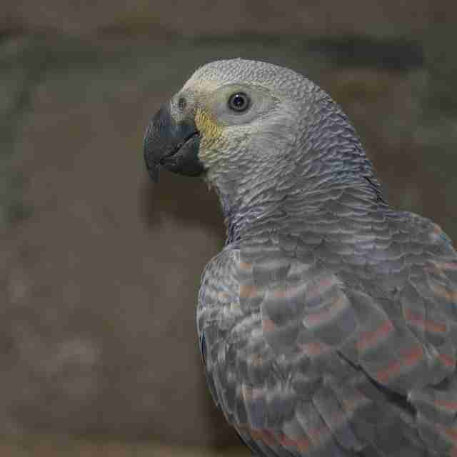 Rescued African grey parrot