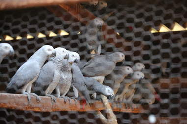 African grey parrots in rehabilitation cage