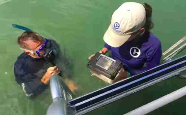Wild sea urchin being returned to water in Florida