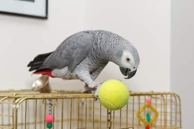 African grey parrot kept as pet