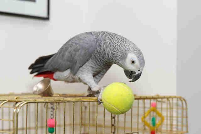 African grey parrot kept as pet