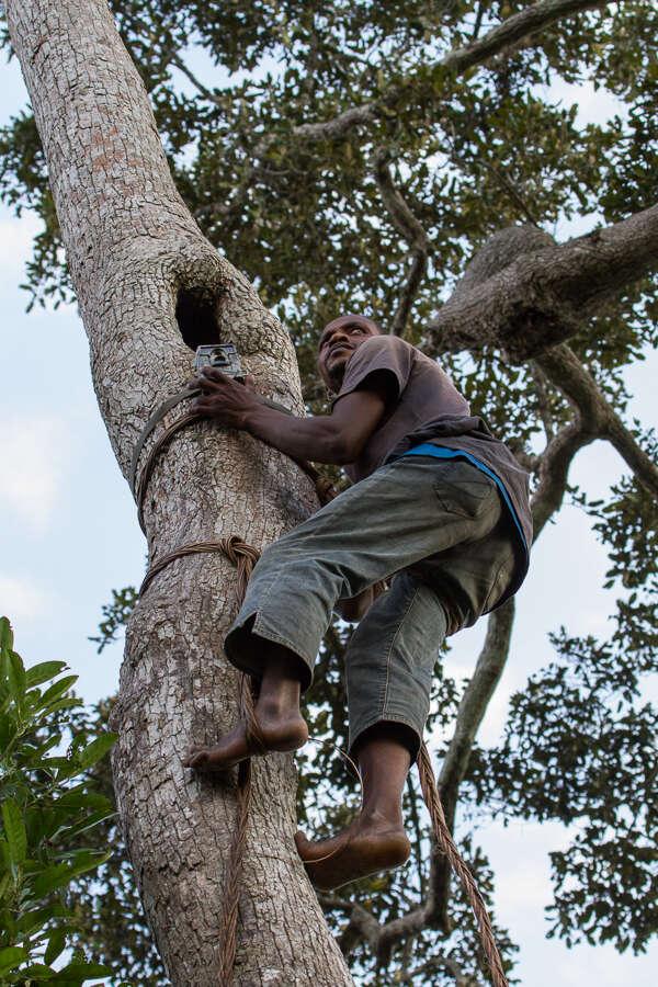 Trapper climbing tree
