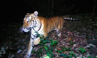 Lonely wild tigress searching for a mate