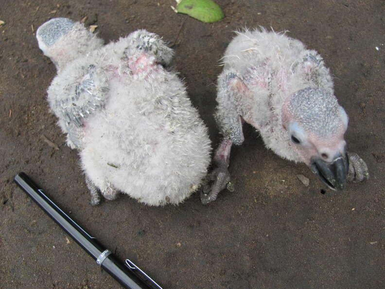 Baby African grey chicks