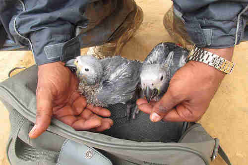 Wild parrots after being plucked from their nests