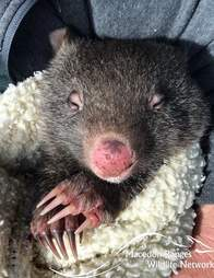 Baby wombat wrapped up in blanket