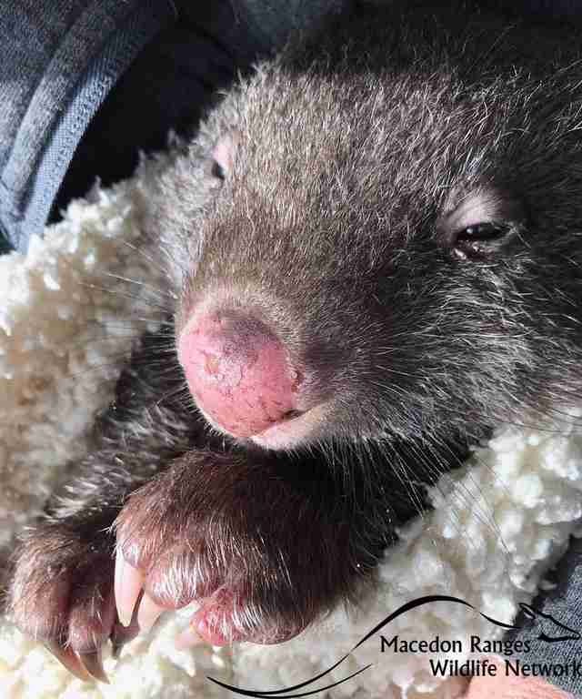 Baby wombat cuddled up in blanket