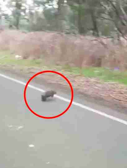 Baby wombat running across road
