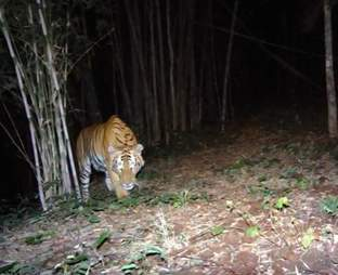 Lone tigress looking for a mate