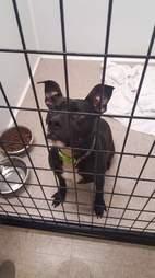 Black pit bull inside kennel