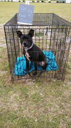 Black pit bull at adoption event
