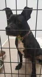 Black pit bull up for adoption