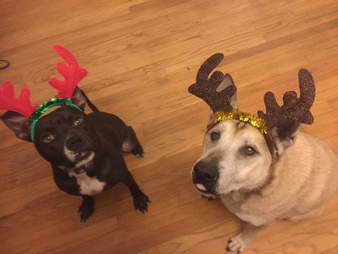 Two dogs with Christmas reindeer hats